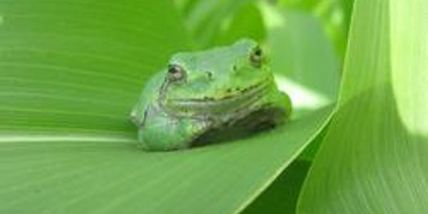 Eastern green tree frog