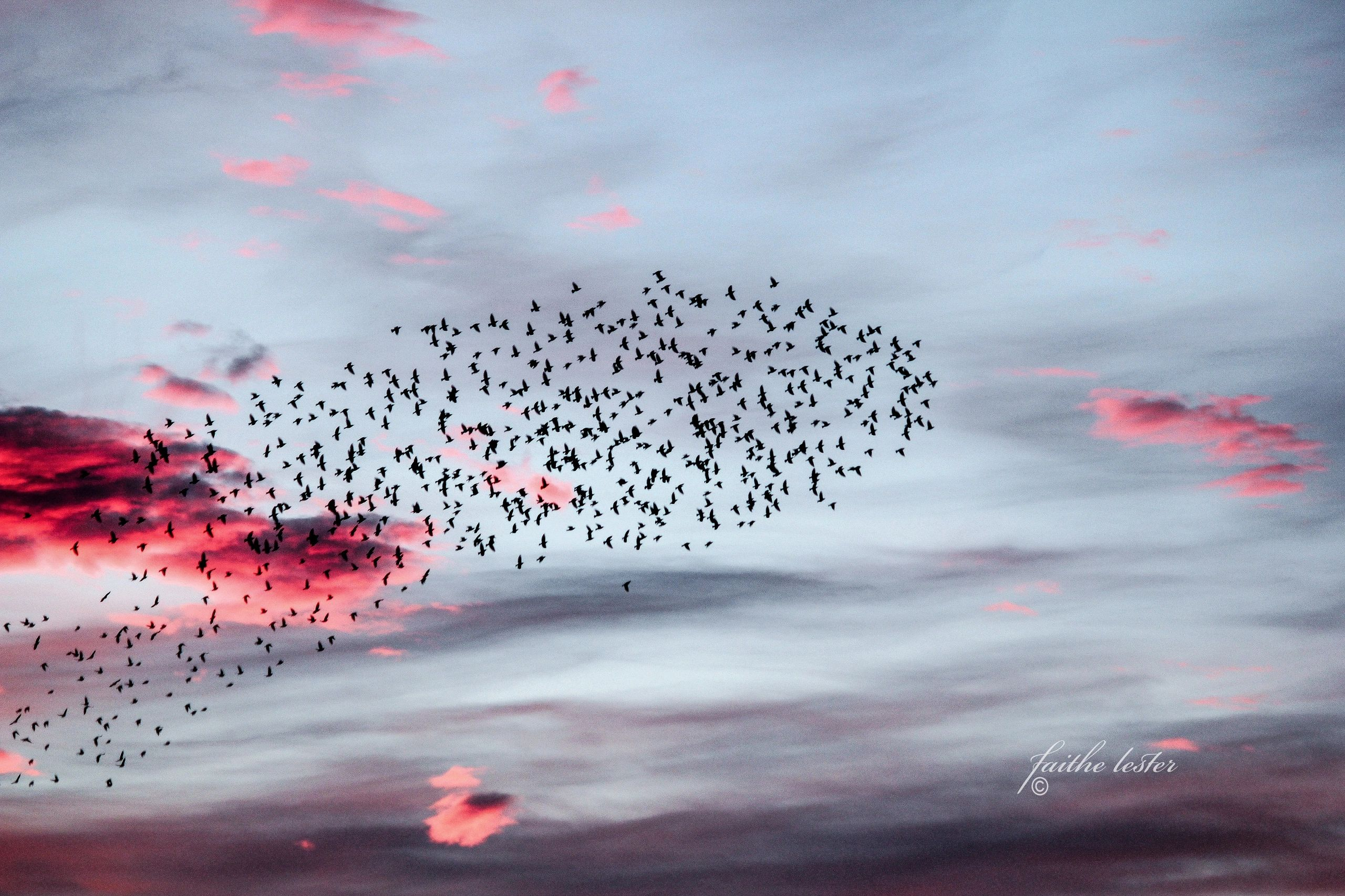 An abstract image from nature. Black birds and red clouds in the morning light.