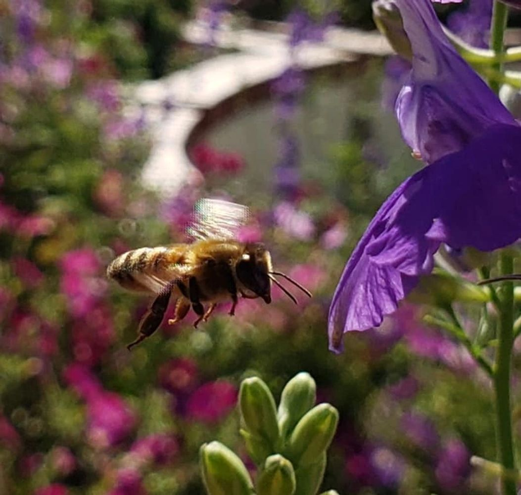 Honey bee in flight getting ready to land on purple flower.