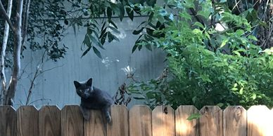 Cat hanging over a wood fence, small tree on the right side of composition