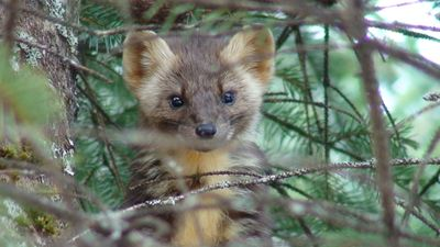 American Marten on the Tongass NF. Credit USFS/Chad Hood