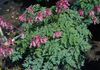 'Luxuriant' Dicentra