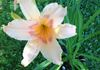 'Snow Valley' Daylily