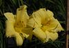 'Going Bananas' Daylily