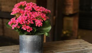 Hot Pink Kalanchoe in Corrugated Steel Container