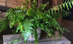Large Fern in 6 x 7 inch Stone Container