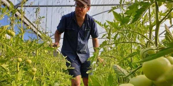Wholesale vegetable seedlings Manjimup, Western Australia. Tomato greenhouse grown fresh produce, farmer and growers