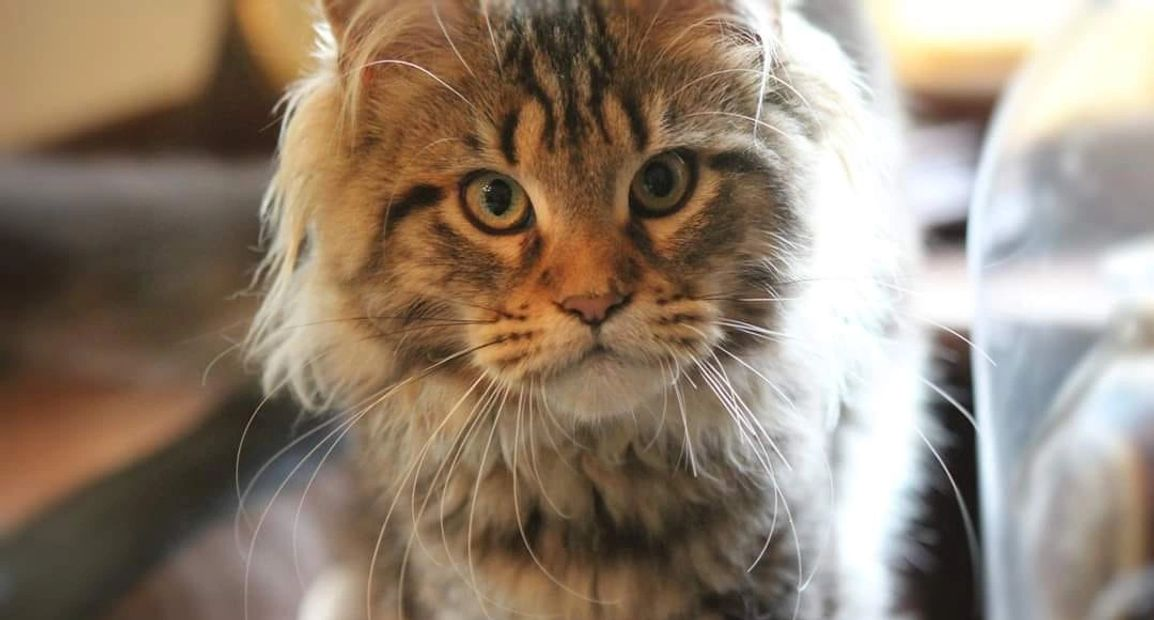 Maine Coons of Yggdrasil - Maine Coon Kittens, Maine Coon Cats