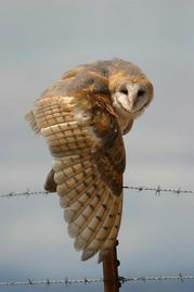 Barn owl photo by Elster Photography