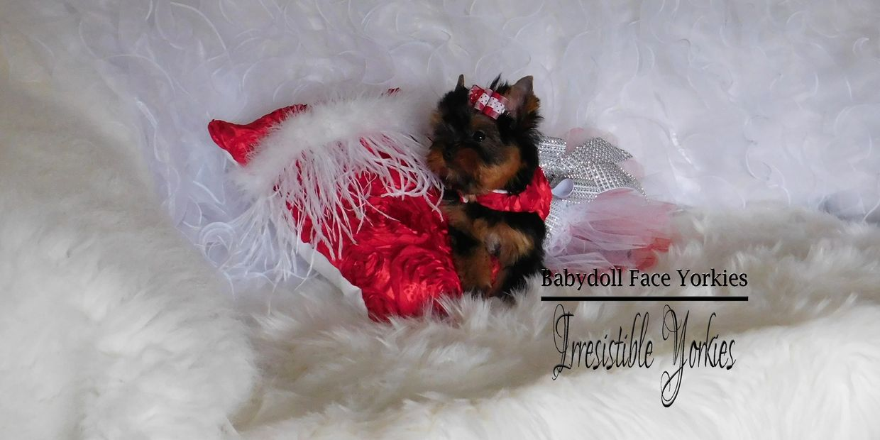 Babydoll face yorkie