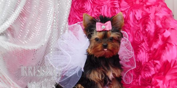 Babydoll Face Yorkies, Extreme Babydoll Yorkie, Babydoll Parti Yorkies in Maryland