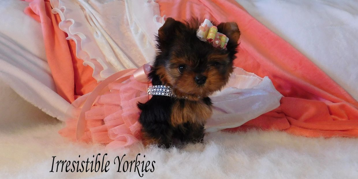Babydoll Face Yorkies, Extreme Babydoll Yorkie, Babydoll Teacup Yorkies,Babydoll Parti Yorkies in MD
