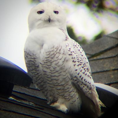 A white owl sits on a rooftop in Seattle Washington. It looks at the camera.