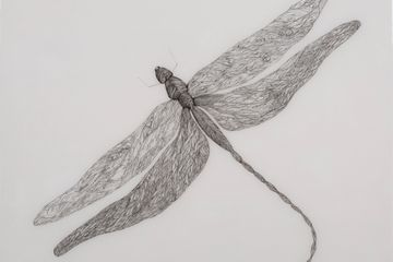 A detailed ink drawing of a dragonfly by Anna Whitmore
