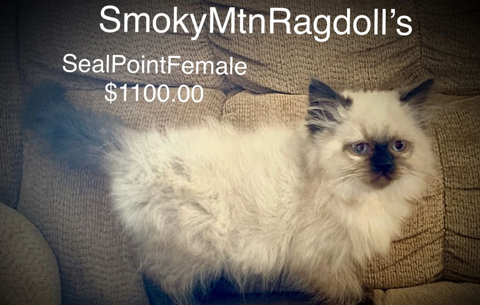 Seal Point Ragdoll Kitten for sale.  Very sweet and lovable.  Ready to go home anytime.  Up to date