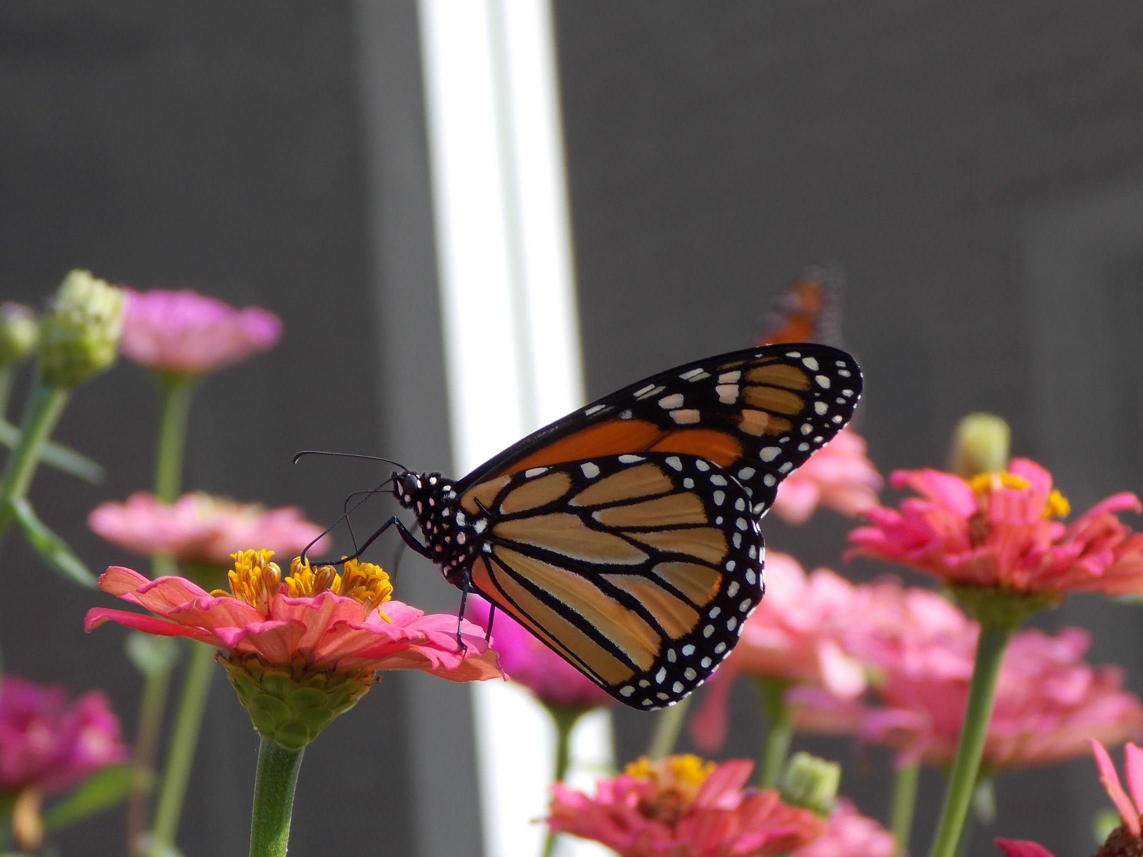 Monarch butterfly is nectaring on a pink zinnia blossom in a backyard garden.