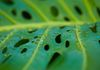 Close up of a monstera leaf in the rain