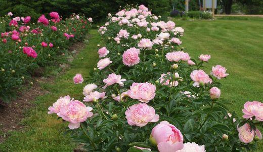 Peonies grown at Ovans Peony Farm for brides, event planners and florist