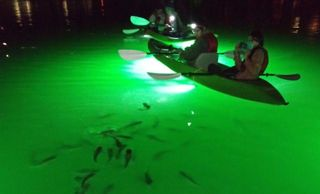 We attract and feed fish up close and personal! Nightime LED Kayakers with hundreds of fish following the kayak in green lit up waters. www.glassbottomtours.com