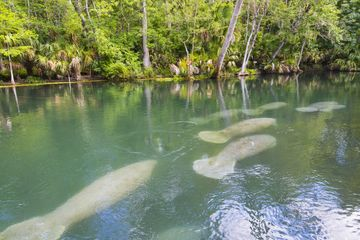 6 manatees swimming just below the surface of the water in crystal springs florida. sharkey's water sports and sharkeys glass bottom  tours, www.glassbottomtours,com