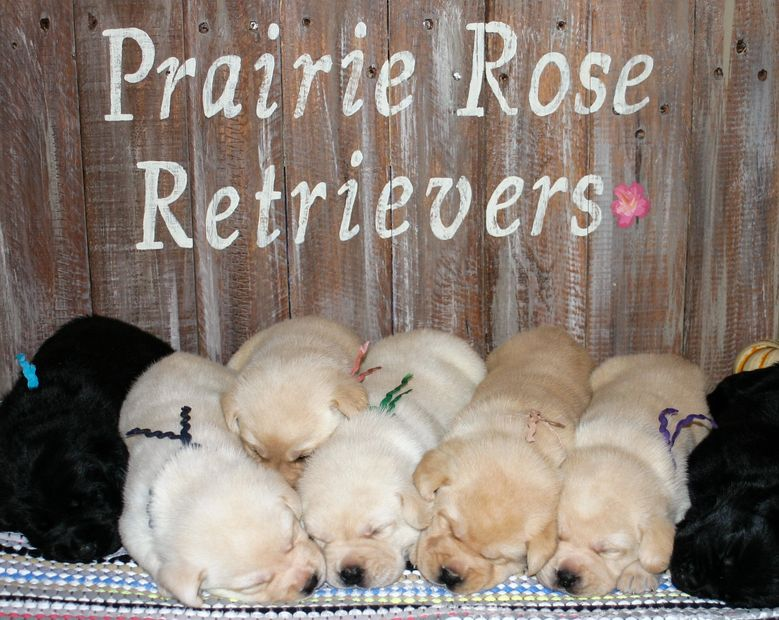 english labrador retriever puppies st. louis MO