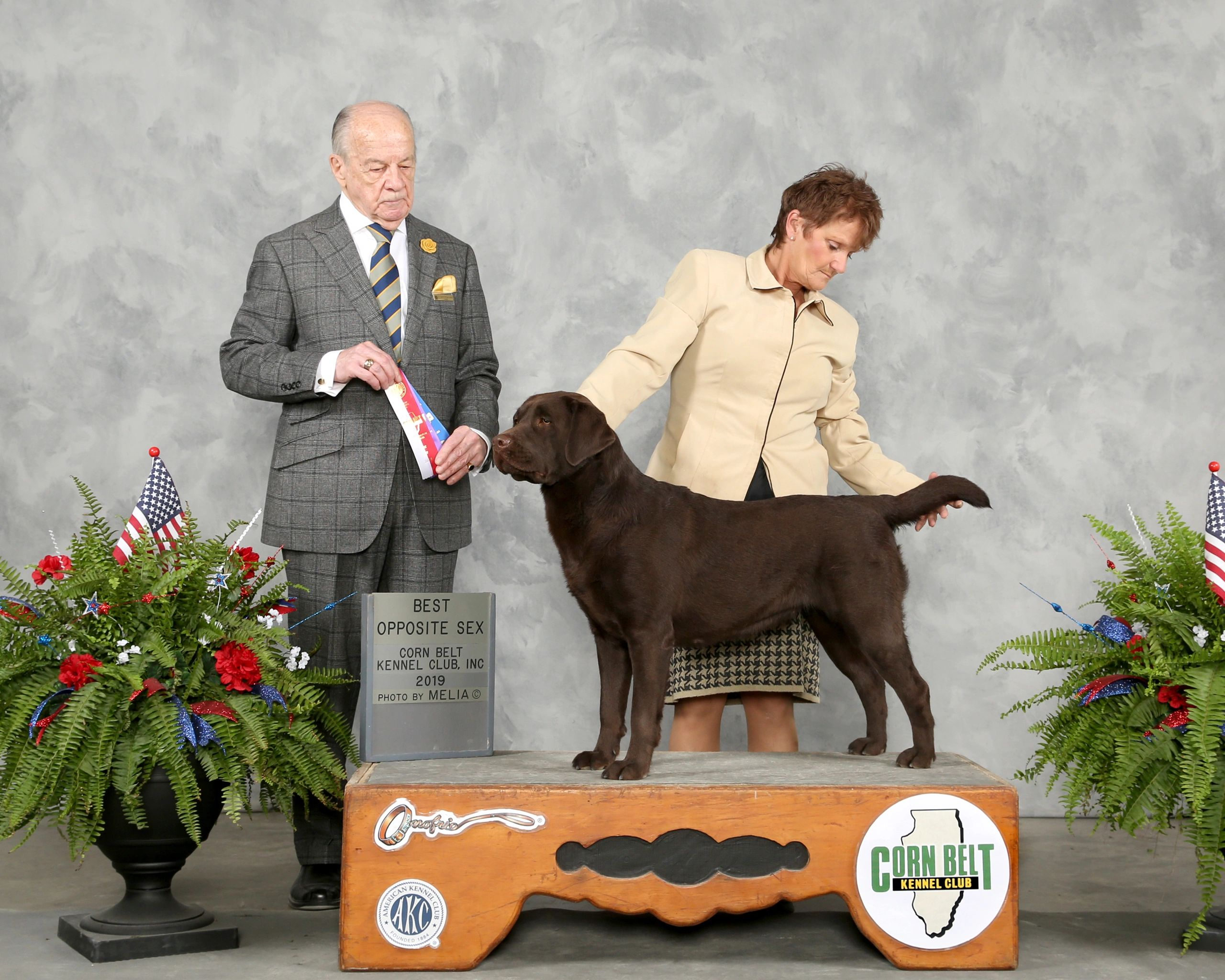 Our gorgeous Labrador Jewel winning BOS at an AKC show