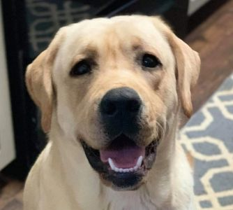 Tank is an upcoming Therapy dog, he is a lot like his dad Brantley Coal. He is a gorgeous yellow Labrador.