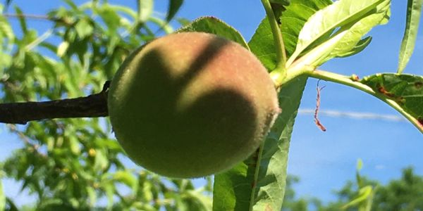 Peaches are almost ready!