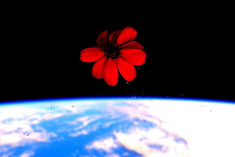 Astronaut Scott Kelly took this image of a zennia grown on Space Station. Credit: NASA