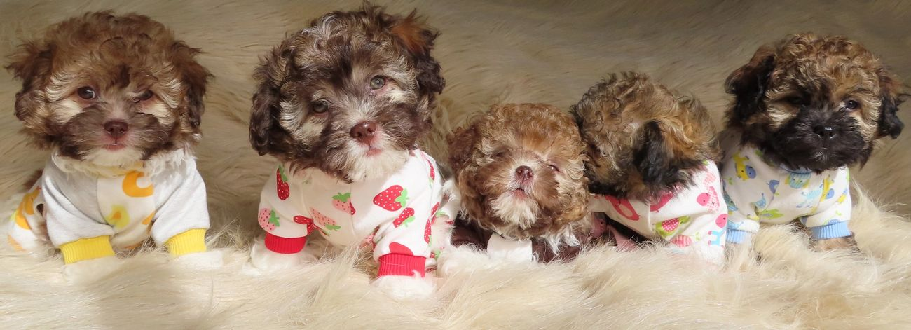 Tiny Teddies Teddy Bear Zuchon Puppies Teddy Bear