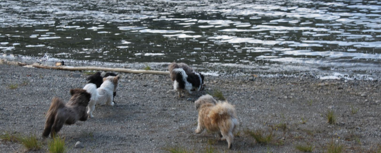 Teddy bear Zuchon (Shichon or Shih Tzu bichon) Adult dogs running jumping at the lake - Happy Healthy comical affectionate highly trainable great service or therapy dogs  excellent companion or family dog - www.tinyteddys.com - Tiny Teddies