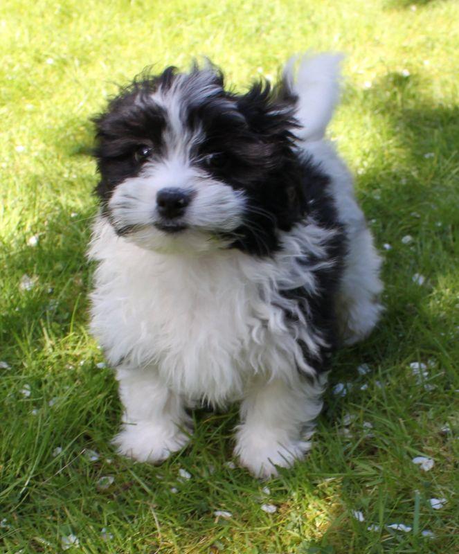 Tiny Teddies Teddy Bear Zuchon Puppies Puppy Puppies