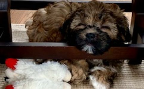 Brown tri colour Tiny Teddies puppy - Teddy Bear Zuchon shichon bichon shih-tzu dog - tinyteddys.com