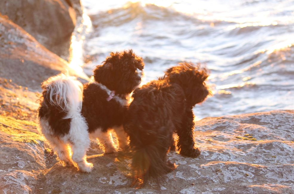 Teddy bear Zuchon (Shichon or Shih Tzu bichon) adult dogs on the beach in the sunset - Happy Healthy comical affectionate highly trainable great service or therapy dogs  excellent companion or family dog - www.tinyteddys.com - Tiny Teddies