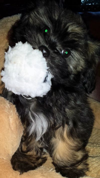 Teddy bear Zuchon (Shichon or Shih Tzu bichon) puppies fetching toy snowball - Happy Healthy comical affectionate highly trainable great service or therapy dogs  excellent companion or family dog - www.tinyteddys.com - Tiny Teddies