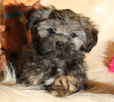 Teddy bear Zuchon (Shichon or Shih Tzu Bichon) puppies - Happy healthy smart comical affectionate highly trainable great service or therapy dogs  excellent companion or family dog - www.tinyteddys.com - Tiny Teddies