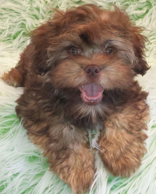 Tiny Teddies - Teddy Bear Zuchon Puppies - Teddy Bear