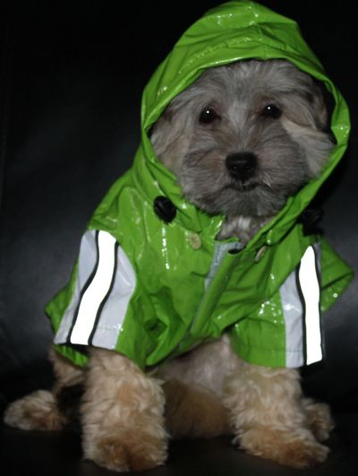 Teddy bear Zuchon (Shichon or Shih Tzu bichon) puppies in a rain coat - Happy Healthy comical affectionate highly trainable great service or therapy dogs  excellent companion or family dog - www.tinyteddys.com - Tiny Teddies