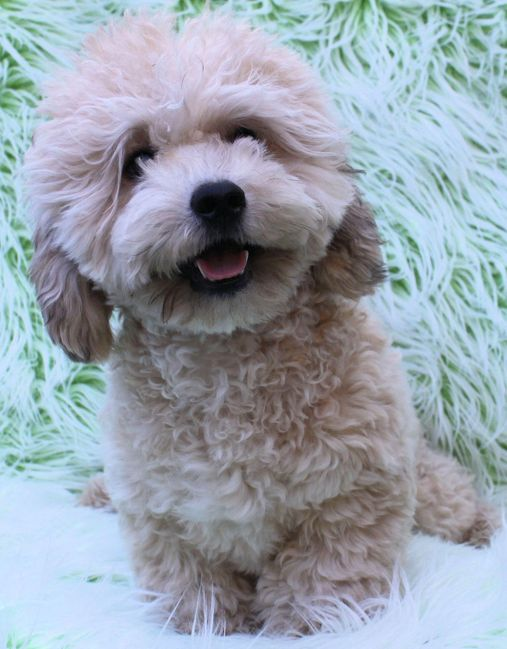 Teddy bear Zuchon (Shichon or Shih Tzu bichon) puppy - Happy Health affectionate highly trainable great service or therapy dogs  - www.tinyteddys.com - Tiny Teddies