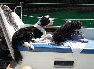 Tiny Teddies - Teddy Bear Zuchon Puppies - Teddy Bear, Zuchon Puppy