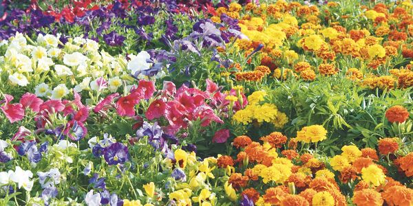 A variety of annual flowers in vibrant colors.