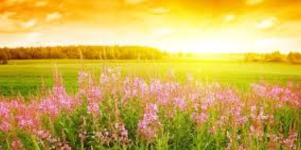sunset over a field of pink wild flowers