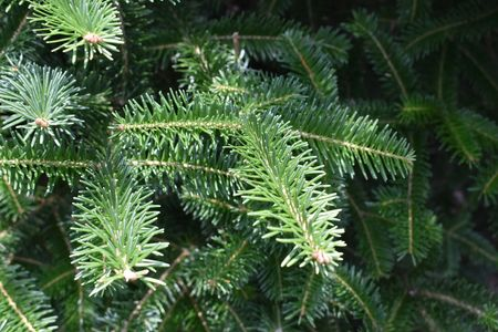 Detail of Canaan Fir from our cut your own Christmas tree farm