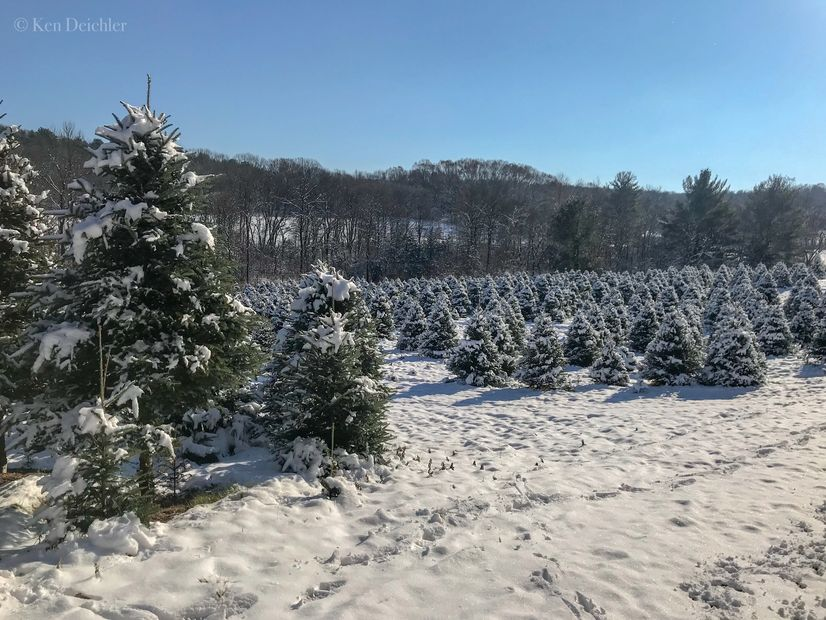 Fresh snow on the cut your own christmas tree field.