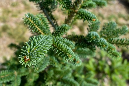"Detail of a young Corkbark fir or ""subalpine fir"" from our cut your own christmas tree farm."