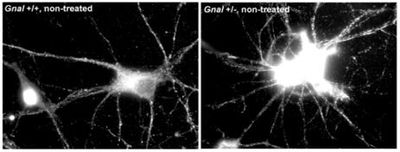Increased surface expression of AMPAR in Gnal+/- striatal neurons compared to WT after treatment.