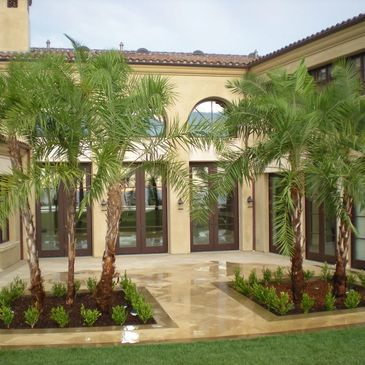 Phoenix reclinata For Sale, Palms for Sale, Rancho Santa Fe, Newport Coast, Newport Beach, Malibu