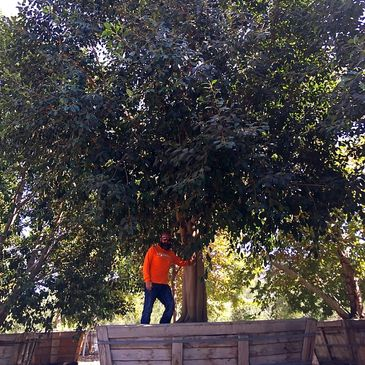 Big Tree Nursery, Big Trees For Sale, Tree Mover, We Save Trees, We Move Big Trees, We Sell Big Tree