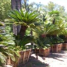 Sago Palms For Sale, Cycas revoluta for Sale, King Palms for Sale, Seaforthia For Sale California
