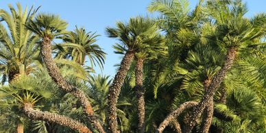 Mediterranean Fan Palms For Sale, Chamaerops humilis For Sale, European Fan Palms For Sale, CA AZ NV